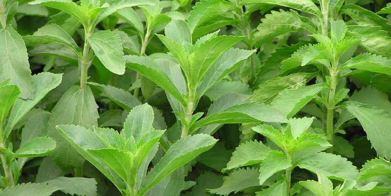 Stevia Cancer leaf