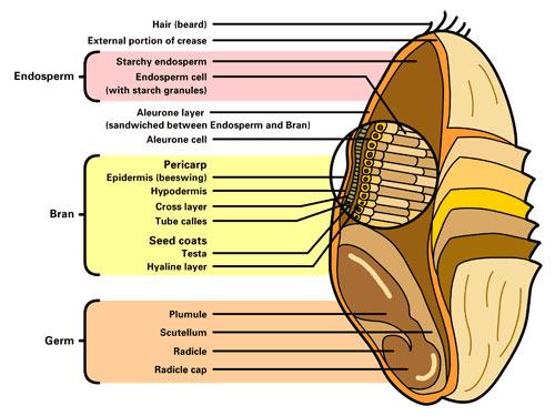 Wheat-germ-diagram.