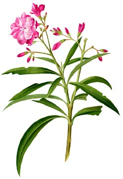 oleander-plant-cancer-treatment.