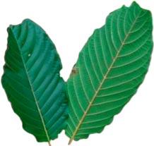 kratom-cancer-leaves.